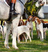 American Foxhounds before a hunt — Stock Photo