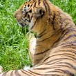 Wildlife tiger - Stock Photo