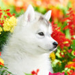One Siberian husky puppy in flowers — Stock Photo