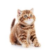 British Shorthair kitten cat isolated — Stock Photo