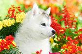 Un cachorro de husky siberiano en flores — Foto de Stock