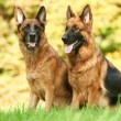 Two German Shepherd Dog — 图库照片