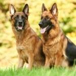 zwei Deutsche Schäferhund — Stockfoto