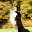 One Shetland Sheepdog Dog — Stock Photo #6959729