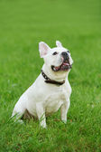 One french bulldog — Stok fotoğraf