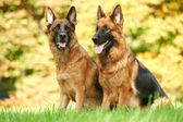 Two German Shepherd Dog — Stock Photo