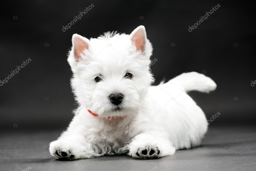 West HighlWest Highland White Terrier on black background — Stock Photo #7626334