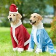 Two golden retrievers dogs in new year clothing - Stock Photo