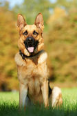 One German Shepherd Dog — Foto Stock