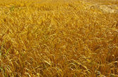 Wheat Field — Stock fotografie