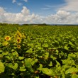 Sunflower Plantation - Stock Photo