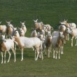 Stock Photo: Herd of antelopes