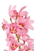 Orchidej izolovaných na bílém pozadí — Stock fotografie