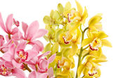 Orchid isolated on white background — Stock Photo
