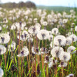 Field of dandelions - Stock Photo