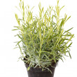Stock Photo: Lavender herb