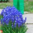 Stock Photo: Spring flowers in the garden