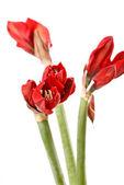 Red amaryllis flowers — Stock Photo