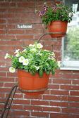 Petunia in the pot — Stock Photo