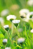 Campo de daisy — Foto Stock