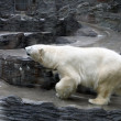 Polar bear — Stockfoto #6975968