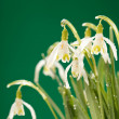 Snowdrop flowers — Stock Photo #6976455