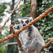 Cute Lemur - Foto Stock