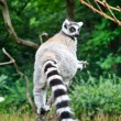 Cute Lemur — Stock Photo #6976784