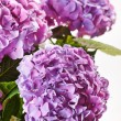 Beautiful hydrangea — Stock Photo #6976805