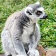 Cute Lemur - Stock Photo