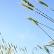 Wheat in the blue sky — Stock Photo