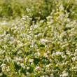 Buckwheat blooming field — Stock Photo #6977068