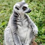 Cute Lemur — Stock Photo #6977088