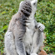 Cute Lemur - Stockfoto