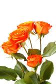 Oranžové růže — Stock fotografie