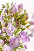 Fresia viola — Foto Stock