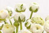 White Ranunculus — Stock Photo