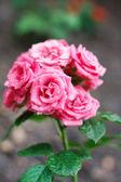 Rosa Rose auf dem Ast in einen Garten — Stockfoto