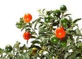 Christmas cherry — Stock Photo