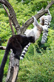 Cute Lemurs — Stock Photo