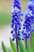 Grape hyacinth in spring — Stock Photo