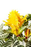 Aphelandra squarrosa — Stock Photo