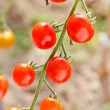 Garden tomatoes — Stock Photo