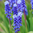 Grape hyacinth in spring - Lizenzfreies Foto
