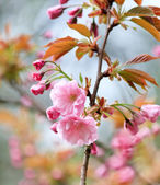 Japanese cherry with blossom — Stock Photo