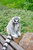 Cute Lemur — Stock Photo