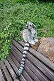 Yakışıklı lemur — Stok fotoğraf