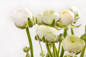 White Ranunculus — Stock Photo
