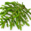 Fir branch — Stock Photo #6881246