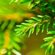 Foto Stock: Fir Branch